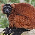 Terri  Waters - Red Ruffed Lemur Varecia...