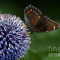 Inspired Nature Photography By Shelley Myke - Red Spotted Purple...