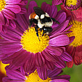 Christina Rollo - Red-Tailed Bumble Bee