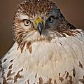 World Wildlife Photography - Red-tailed Hawk Pictures...