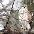 Trina  Ansel - Red-tailed Hawk