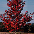 Luv Photography - Red Tree