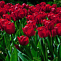 Roger Reeves  and Terrie Heslop - Red Tulips