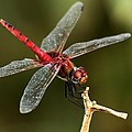Ramabhadran Thirupattur - Red-veined Darter  - My...