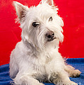 Edward Fielding - Red White and Blue Westie