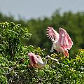 Bill Staney - Roseate Spoonbills