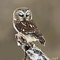 Inspired Nature Photography By Shelley Myke - Saw Whet Owl Sleeping in...