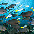 Schooling Yellowmask Surgeonfish Poster by Steve Jones
