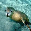 Crystal Beckmann - Sea lion on the seafloor