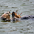 Susan Wiedmann - Sea Otter Munching on...