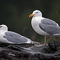Seagulls by Gary Langley