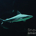 Gary Gingrich Galleries - Shark-09451