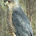 Darleen Stry - Sharp-Shinned Hawk