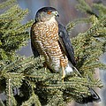Rodney Campbell - Sharp Shinned Hawk