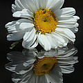 Morgan Wright - Shasta Daisy