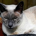 Imran Ahmed - Siamese cat rests and...