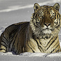 Siberian Tiger at Attention