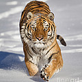 Jerry Fornarotto - Siberian Tiger coming...