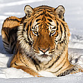 Jerry Fornarotto - Siberian Tiger Face to...