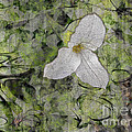 Claire Bull - Single White Trillium