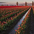 Mike Reid - Skagit Tulip Fields...