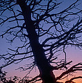 Marty Saccone - Skeletal Tree at Sunrise