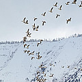 Tim Moore - Snow Geese over Summer...
