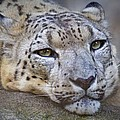 Ruth Jolly - Snow Leopard Stare