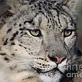 Terri  Waters - Snow Leopard Uncia uncia