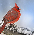 Nava Jo Thompson - Snowing on Red Cardinal