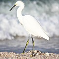 Barbara Chichester - Snowy Egret In The Surf