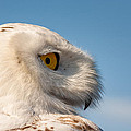 Laura Duhaime - Snowy Owl the side view