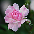 Rona Black - Soft Pink Miniature Rose