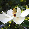 Will Abair - Southern Magnolia