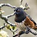 Inge Riis McDonald - Spottet Towhee with...