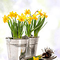 Spring Daffodils by Amanda And Christopher Elwell