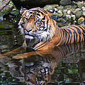 Margaret Saheed - Sumatran Tiger Keeping...
