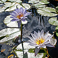 Kaye Menner - Sun-drenched Lily Pond  ...