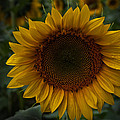 Aileen Mozug - Sunflower #2