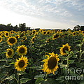 Beverly Livingstone - Sunflower Field