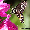Travis Truelove - Swallowtail and Azalea -...