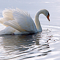 Roy Williams - Swan Bathed In Morning...