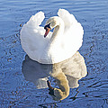 Hal Halli - Swan in Pose