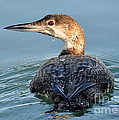 Kathy Baccari - The  Common Loon