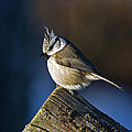 Torbjorn Swenelius - The Crested Tit in the...