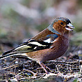 Torbjorn Swenelius - The Male Chaffinch