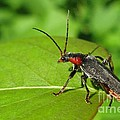 Ausra Paulauskaite - The rednecked Bug- Close...