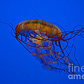 Kathy Baccari - The Sea Nettle