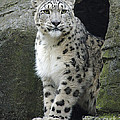 Linsey Williams - The Snow Leopard
