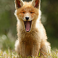 Roeselien Raimond - The Yawning Fox Kit